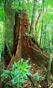 další kořeny, Monteverde